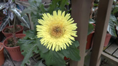 A Chrysanthemum plant bloom with bright yellow flower (FLOWER--22a) Stock Footage