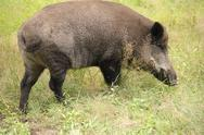 Stock Photo of Wild boar