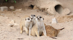 Meerkat look alert Stock Footage