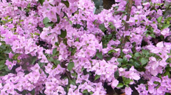 A group of pink Bougainvillea in full bloom on a sunny day. (FLOWER--25) Stock Footage