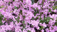 Stock Video Footage of A group of pink Bougainvillea in full bloom on a sunny day. (FLOWER--25)