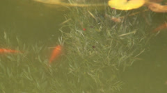 Pisces of red color floating in water Stock Footage