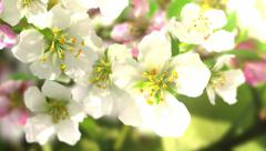 4k blossoming apple-tree - stock footage