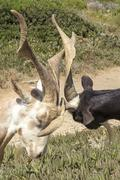 Two billy-goats of Rove fighting, Provence, south of France Stock Photos