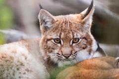 lynx behind the branches - stock photo