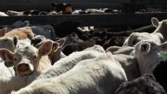 Calves in a Corral During Cattle Branding Stock Footage
