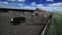 TIME LAPSE - Sorting cattle after branding - stock footage