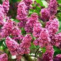 Stock Photo of lilac flowers