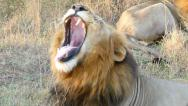 Stock Video Footage of Impressive Lion Roaring - Handheld