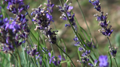 Romantic lavender garden, bees, culinary herb, flowering plants Stock Footage