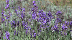 Romantic lavender garden, wind, bumble-bee, bees, herb, flowering plants Stock Footage