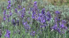 Romantic lavender flowers, wind, bumble-bee, bee, herb, flowering plants Stock Footage