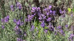 Romantic lavender flowers garden, culinary herb, flowering plants Stock Footage
