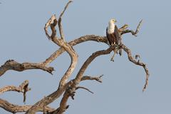The African Fish Eagle - stock photo
