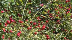 Rose hip bush, rose plant, healthy red fruits, dog rose, garden Stock Footage