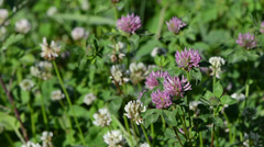 Closeup of dewy white and red clover plants grow in meadow Stock Footage