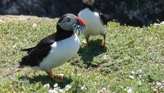Puffins on cliff edge Stock Footage