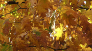 Stock Video Footage of Foliage, autumn, oak leaves, golden leaves in the wind, fall season, landscape