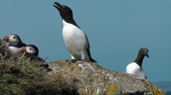 Razorbill, Guillemot and Puffins - stock footage