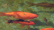 Stock Video Footage of Goldfish in artificial pond, Carassius auratus, algae