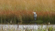 Stock Video Footage of Grey Heron