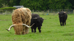 Highland Cattle in Scotland Stock Footage