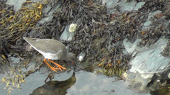 Redshank looking for food Stock Footage