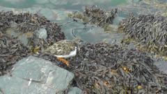 Ruddy Turnstone searching through algae2 Stock Footage