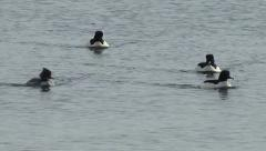 Male and female Goosanders Stock Footage