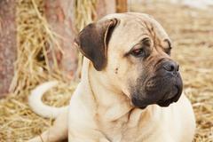 Guard dog in the farm - stock photo