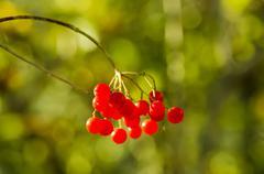 Viburnum berries - stock photo