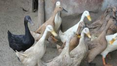 White, Brown, and a Black Ducks Waddling Around Stock Footage