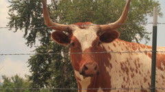 Bull Stock Footage
