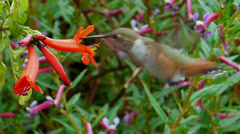 Allen's Hummingbird Stock Footage