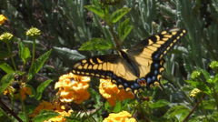 Anise Swallowtail - stock footage