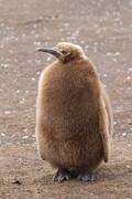 King penguin chick Stock Photos