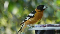 Black-headed Grosbeak Stock Footage