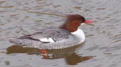 Common Merganser Stock Footage
