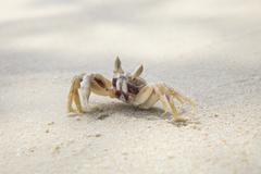 close up sea crab on sand beach - stock photo
