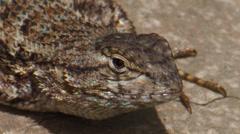 Western Fence Lizard Stock Footage
