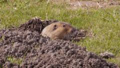 Gopher - stock footage
