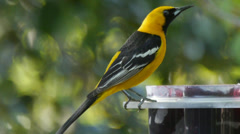 Hooded Oriole Stock Footage