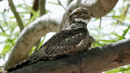 Stock Video Footage of lesser Nighthawk