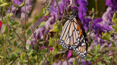 Monarch Stock Footage