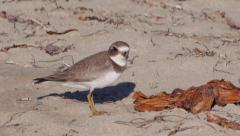 Semipalmated Plover Stock Footage
