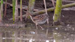 Song Sparrow Stock Footage