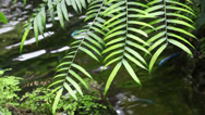 Stock Video Footage of Fern near a stream