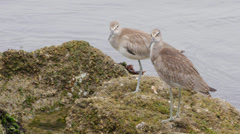 Willet Stock Footage