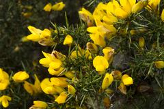 ulex europaeus (gorse, common gorse, furze or whin). macro. - stock photo