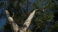 Eucalyptus Tree in Santa Barbara, CA, stationary shot Stock Footage